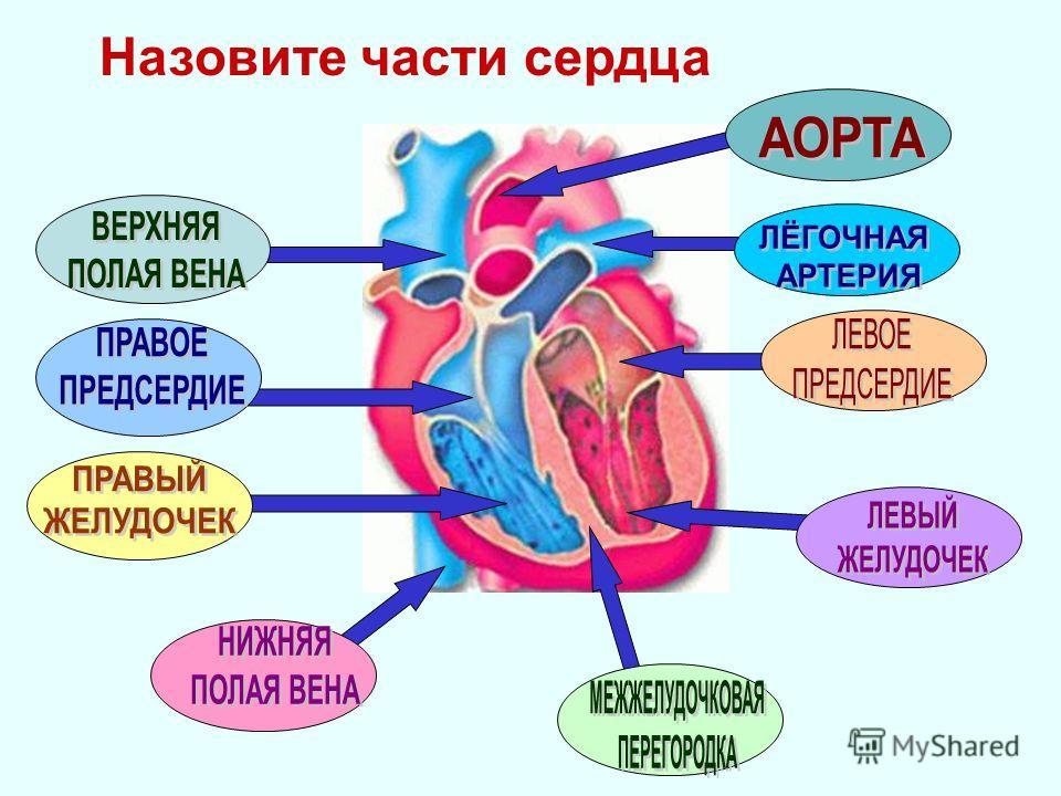 Назовите части сердца