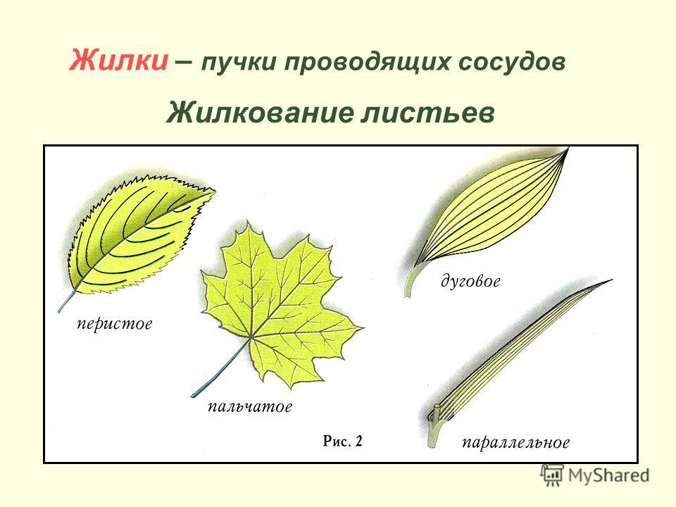Жилки – пучки проводящих сосудов Жилкование листьев