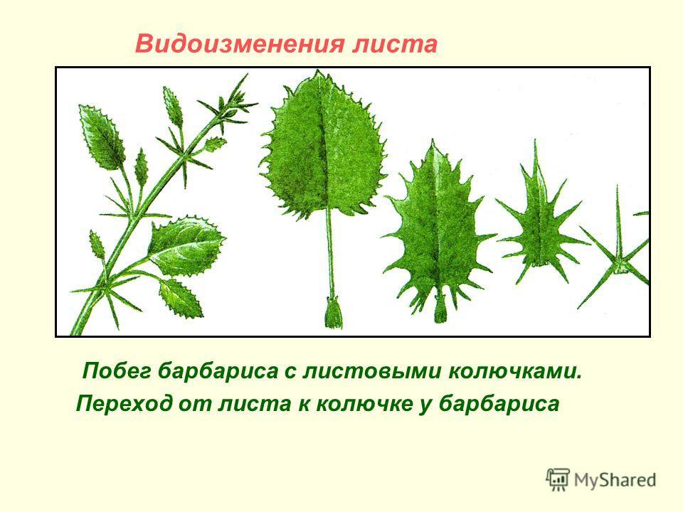 Видоизменения листа Побег барбариса с листовыми колючками. Переход от листа к колючке у барбариса