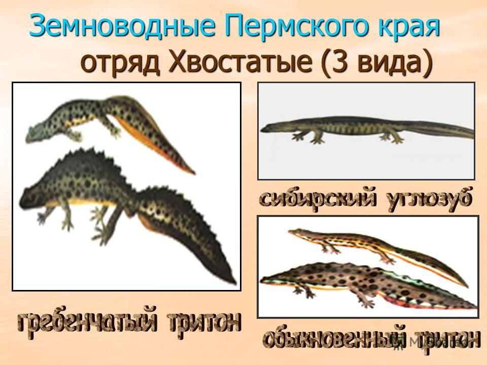 Земноводные Пермского края отряд Хвостатые (3 вида)