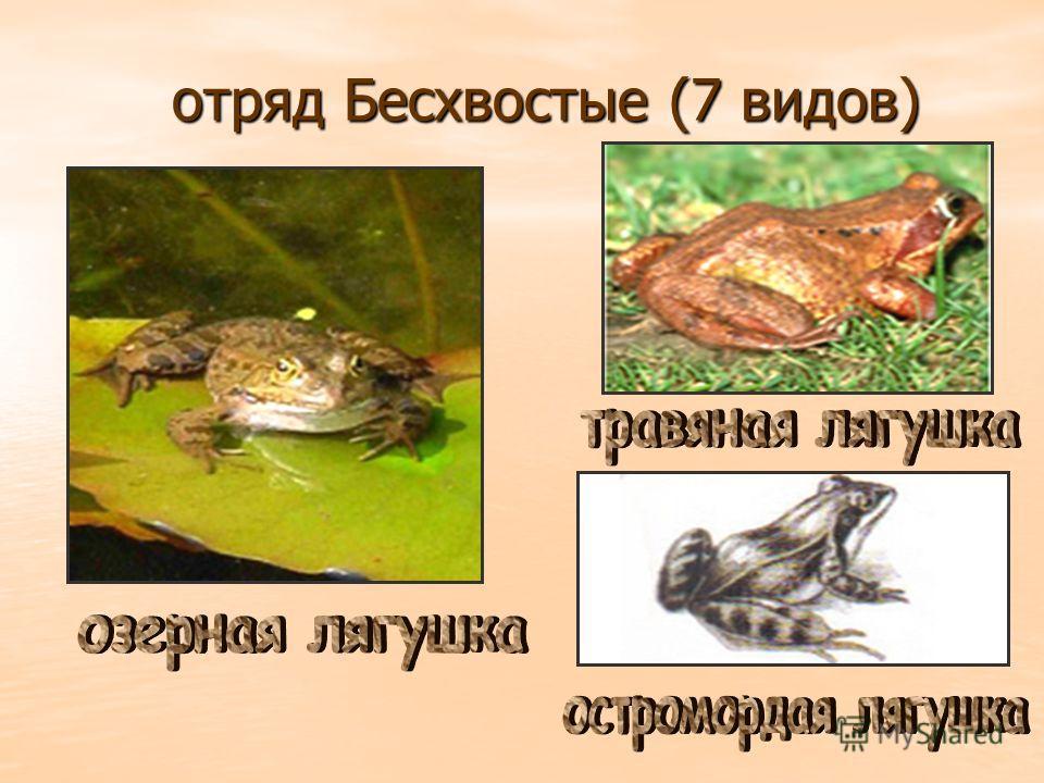 отряд Бесхвостые (7 видов) отряд Бесхвостые (7 видов)