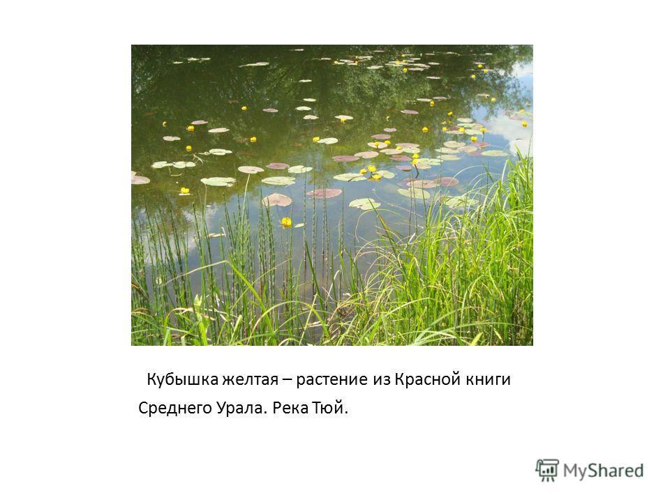 Кубышка желтая – растение из Красной книги Среднего Урала. Река Тюй.