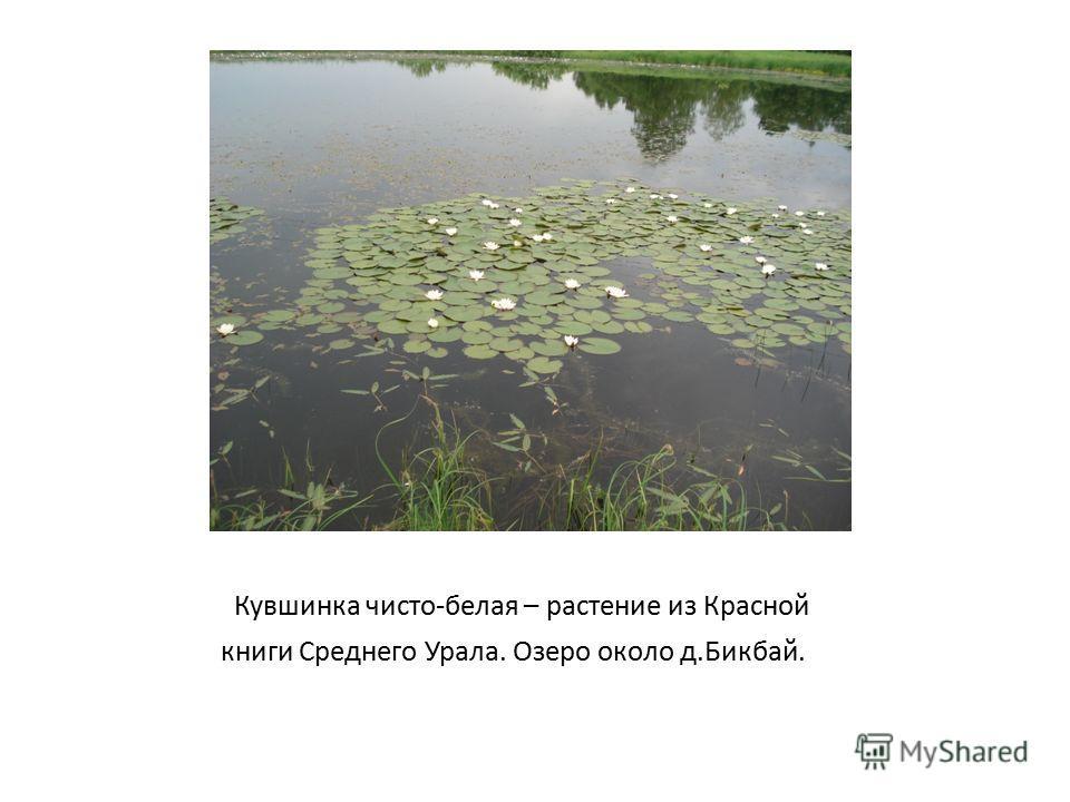 Кувшинка чисто-белая – растение из Красной книги Среднего Урала. Озеро около д.Бикбай.