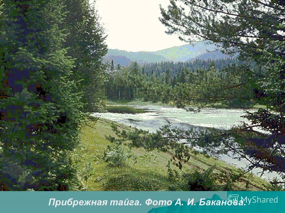 Прибрежная тайга. Фото А. И. Баканова.