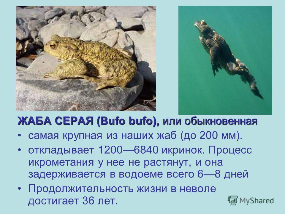 ЖАБА СЕРАЯ (Bufo bufo), или обыкновенная самая крупная из наших жаб (до 200 мм). откладывает 12006840 икринок. Процесс икрометания у нее не растянут, и она задерживается в водоеме всего 68 дней Продолжительность жизни в неволе достигает 36 лет.