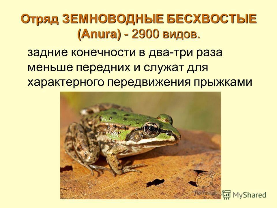 Отряд ЗЕМНОВОДНЫЕ БЕСХВОСТЫЕ (Anura) - 2900 видов. задние конечности в два-три раза меньше передних и служат для характерного передвижения прыжками