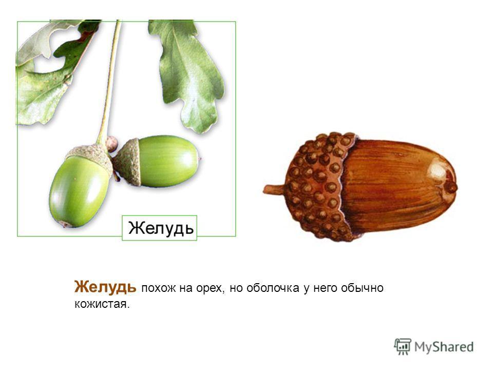 Желудь похож на орех, но оболочка у него обычно кожистая.