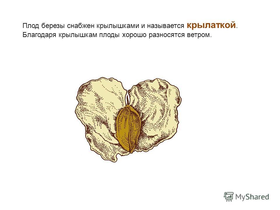 Плод березы снабжен крылышками и называется крылаткой. Благодаря крылышкам плоды хорошо разносятся ветром.