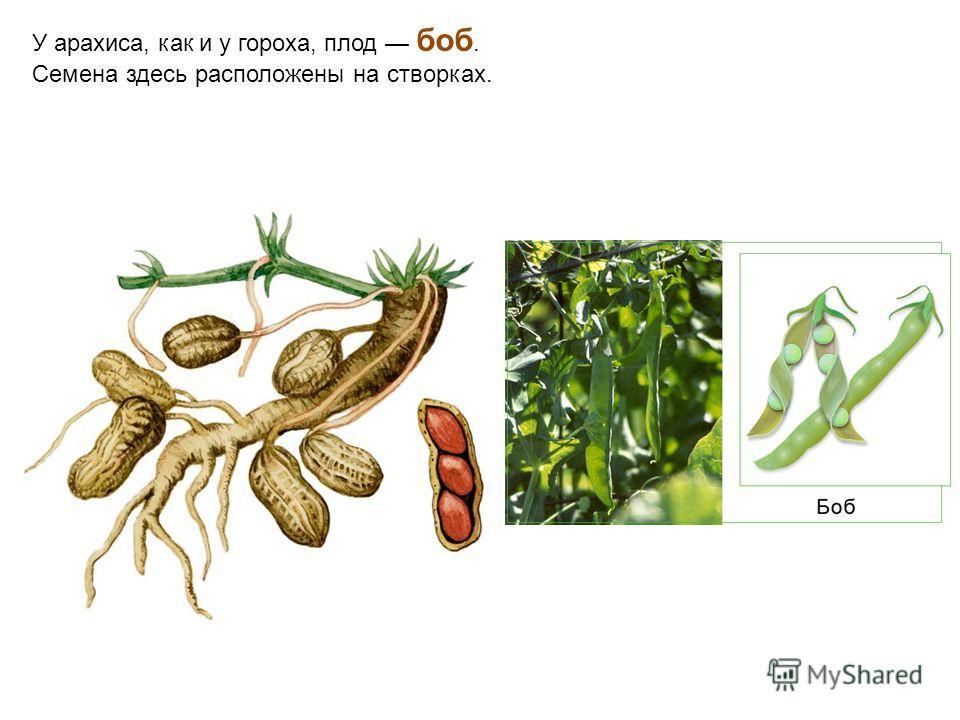 У арахиса, как и у гороха, плод боб. Семена здесь расположены на створках.
