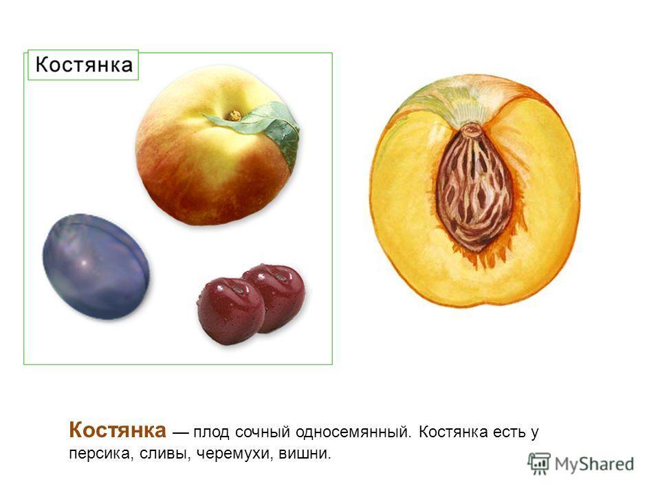 Костянка плод сочный односемянный. Костянка есть у персика, сливы, черемухи, вишни.