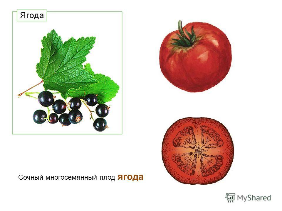 Сочный многосемянный плод ягода