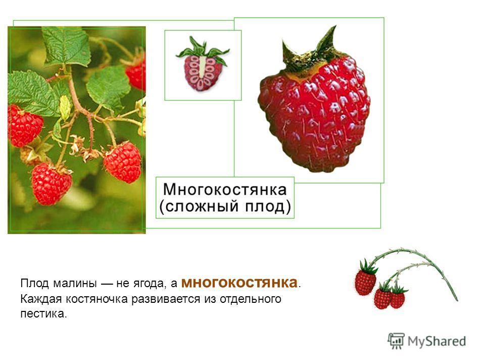 Плод малины не ягода, а многокостянка. Каждая костяночка развивается из отдельного пестика.