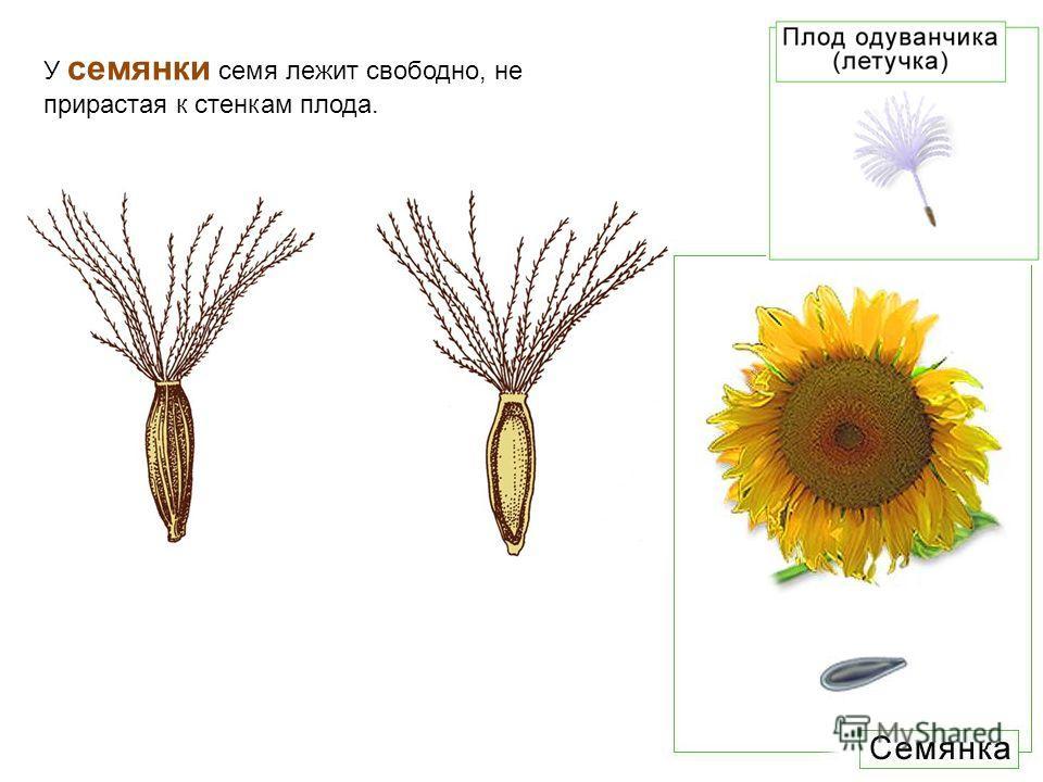 У семянки семя лежит свободно, не прирастая к стенкам плода.