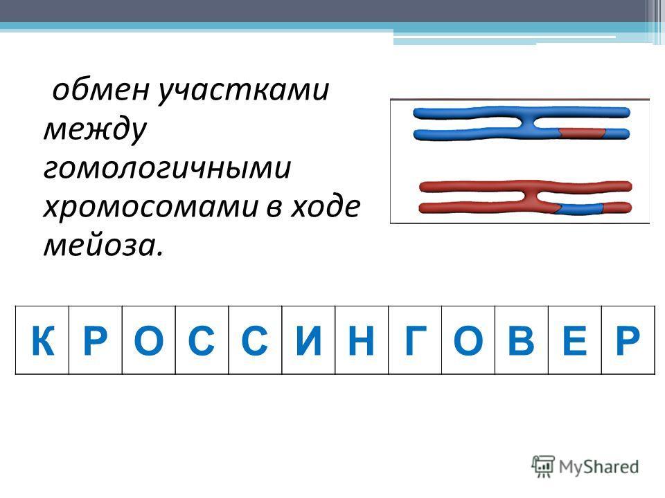 обмен участками между гомологичными хромосомами в ходе мейоза. КРОССИНГОВЕР