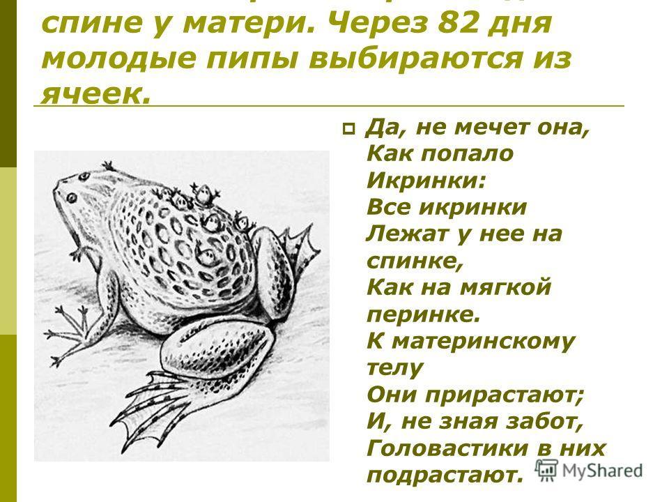 Развитие икринок происходит на спине у матери. Через 82 дня молодые пипы выбираются из ячеек. Да, не мечет она, Как попало Икринки: Все икринки Лежат у нее на спинке, Как на мягкой перинке. К материнскому телу Они прирастают; И, не зная забот, Голова