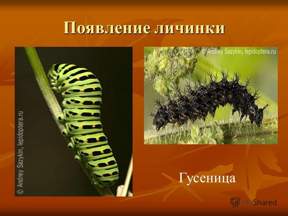 Появление личинки Гусеница