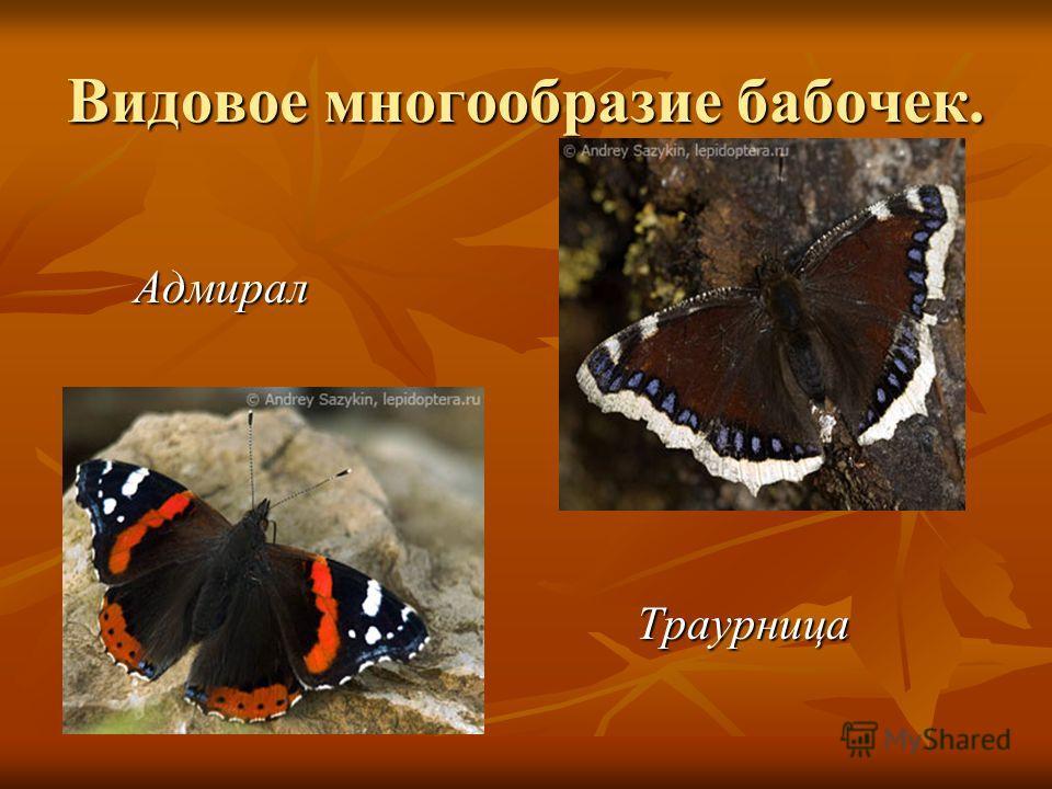 Видовое многообразие бабочек. Адмирал Адмирал Траурница Траурница