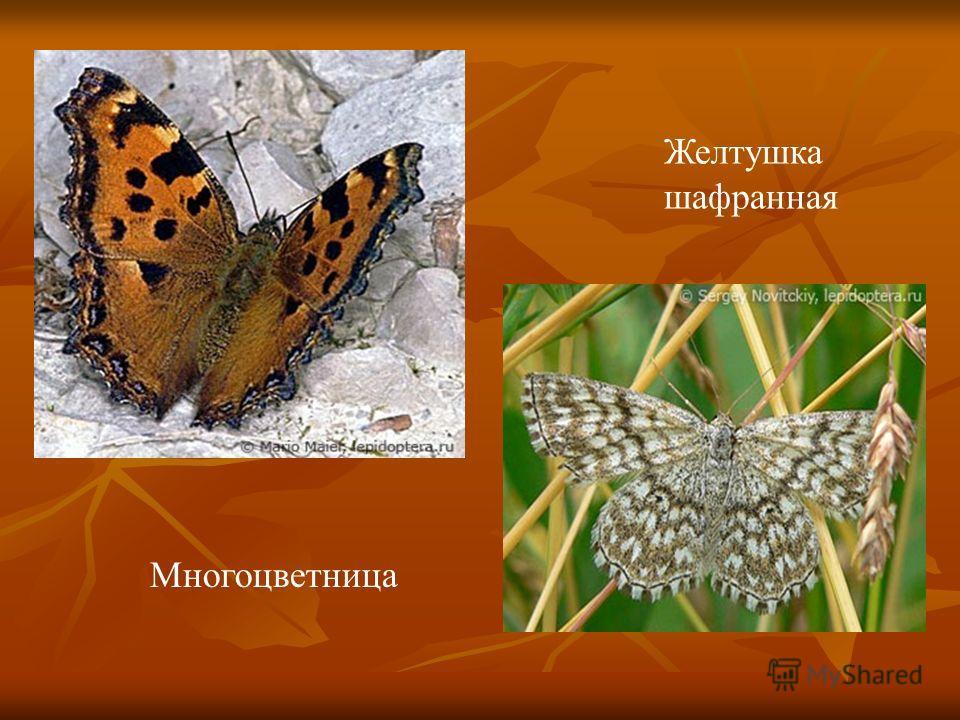 Многоцветница Желтушка шафранная