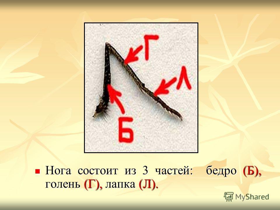 Нога состоит из 3 частей: бедро (Б), голень (Г), лапка (Л). Нога состоит из 3 частей: бедро (Б), голень (Г), лапка (Л).