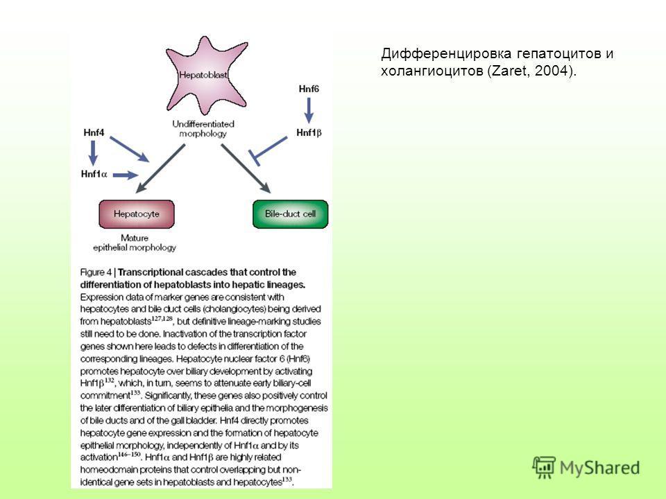 Дифференцировка гепатоцитов и холангиоцитов (Zaret, 2004).
