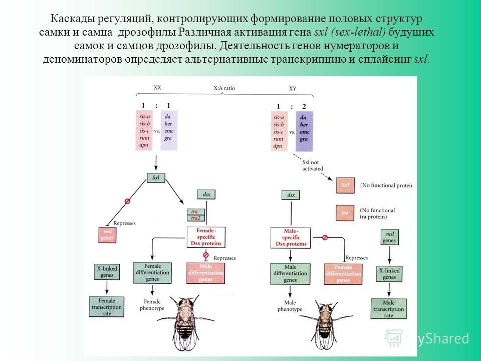 Каскады регуляций, контролирующих формирование половых структур самки и самца дрозофилы Различная активация гена sxl (sex-lethal) будущих самок и самцов дрозофилы. Деятельность генов нумераторов и деноминаторов определяет альтернативные транскрипцию
