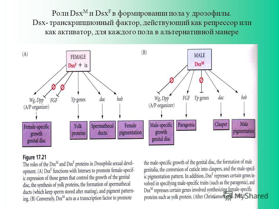 Роли Dsx M и Dsx F в формировании пола у дрозофилы. Dsx- транскрипционный фактор, действующий как репрессор или как активатор, для каждого пола в альтернативной манере