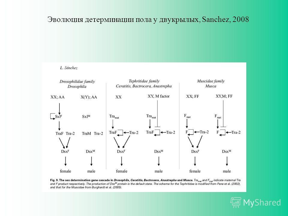 Эволюция детерминации пола у двукрылых, Sanchez, 2008