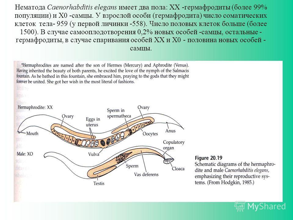 Нематода Caenorhabditis elegans имеет два пола: XX -гермафродиты (более 99% популяции) и X0 -самцы. У взрослой особи (гермафродита) число соматических клеток тела- 959 (у первой личинки -558). Число половых клеток больше (более 1500). В случае самооп