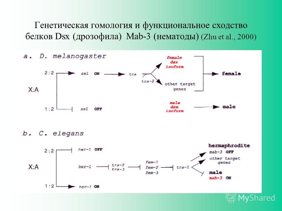Генетическая гомология и функциональное сходство белков Dsx (дрозофила) Mab-3 (нематоды) (Zhu et al., 2000)
