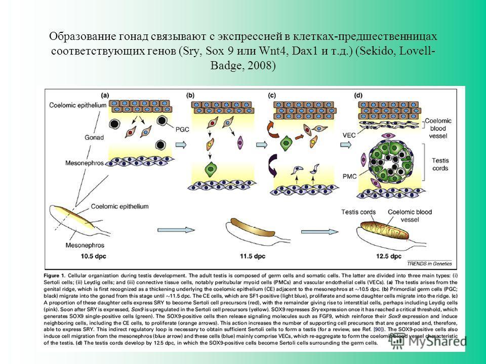 Образование гонад связывают с экспрессией в клетках-предшественницах соответствующих генов (Sry, Sox 9 или Wnt4, Dax1 и т.д.) (Sekido, Lovell- Badge, 2008)