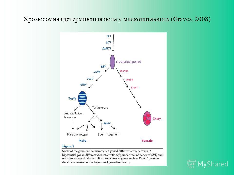 Хромосомная детерминация пола у млекопитающих (Graves, 2008)