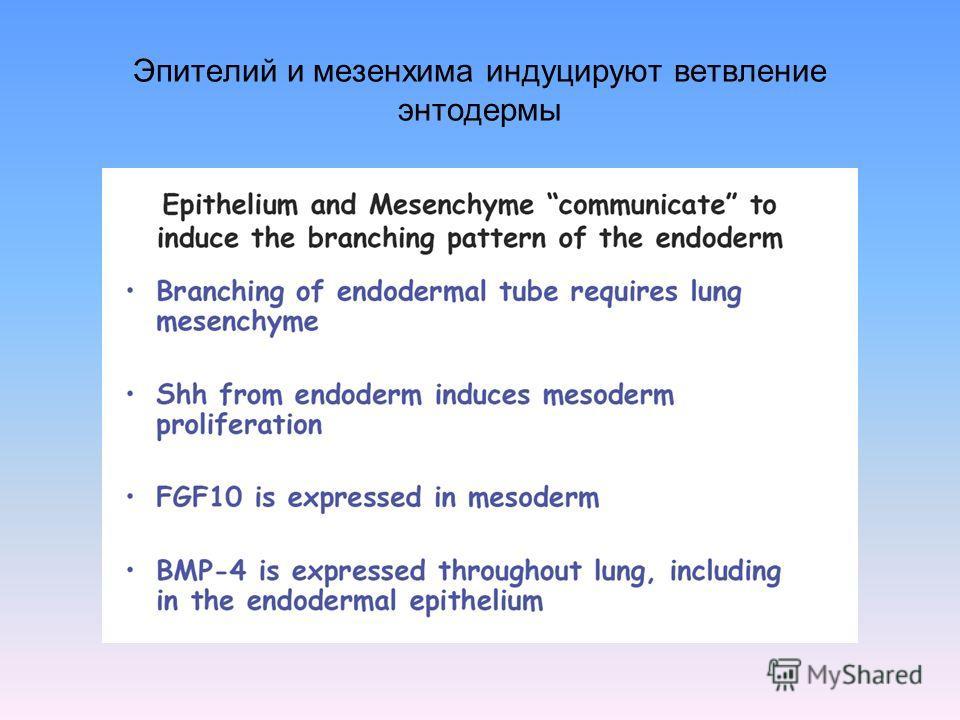 Эпителий и мезенхима индуцируют ветвление энтодермы