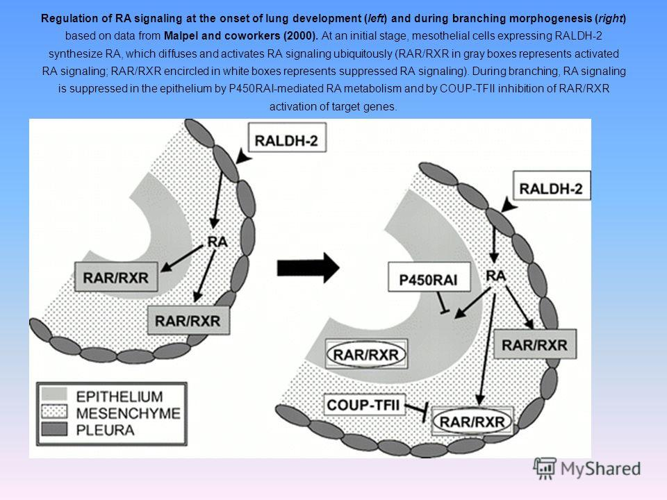 Regulation of RA signaling at the onset of lung development (left) and during branching morphogenesis (right) based on data from Malpel and coworkers (2000). At an initial stage, mesothelial cells expressing RALDH-2 synthesize RA, which diffuses and