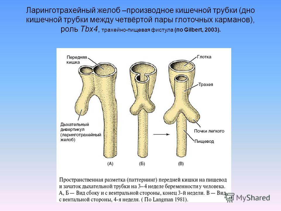 Ларинготрахейный желоб –производное кишечной трубки (дно кишечной трубки между четвёртой пары глоточных карманов), роль Tbx4, трахейно-пищевая фистула (по Gilbert, 2003).