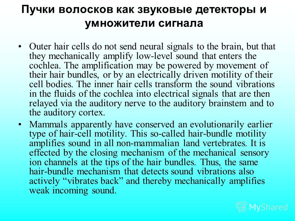 Пучки волосков как звуковые детекторы и умножители сигнала Outer hair cells do not send neural signals to the brain, but that they mechanically amplify low-level sound that enters the cochlea. The amplification may be powered by movement of their hai