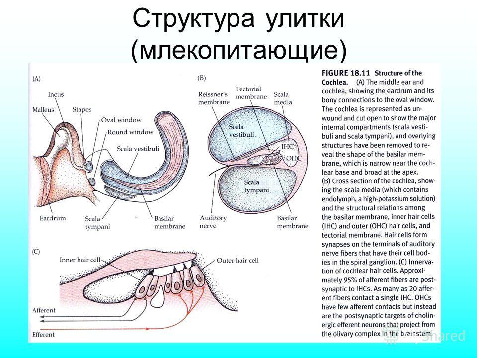 Структура улитки (млекопитающие)