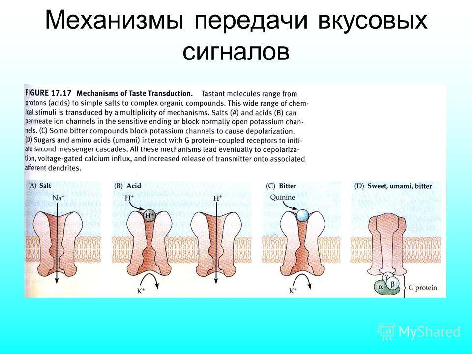 Механизмы передачи вкусовых сигналов