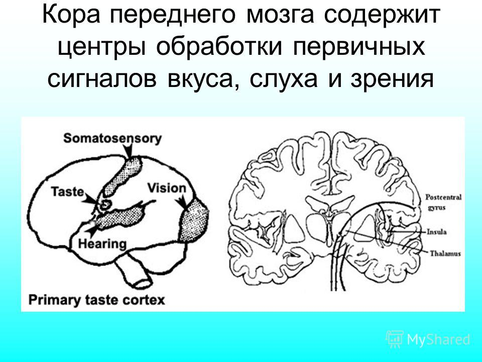Кора переднего мозга содержит центры обработки первичных сигналов вкуса, слуха и зрения