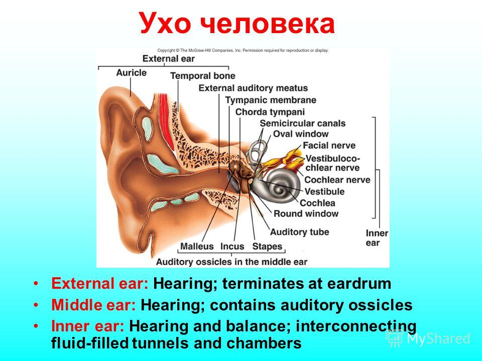 External ear: Hearing; terminates at eardrum Middle ear: Hearing; contains auditory ossicles Inner ear: Hearing and balance; interconnecting fluid-filled tunnels and chambers