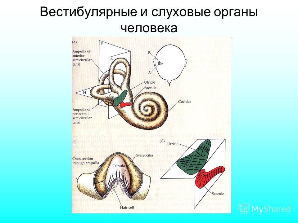 Вестибулярные и слуховые органы человека