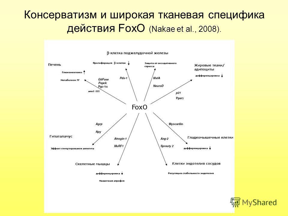 Консерватизм и широкая тканевая специфика действия FoxO (Nakae et al., 2008).