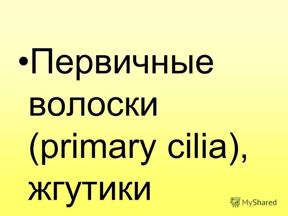 Первичные волоски (primary cilia), жгутики