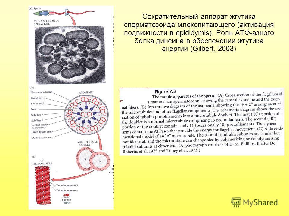 Сократительный аппарат жгутика сперматозоида млекопитающего (активация подвижности в epididymis). Роль АТФ-азного белка динеина в обеспечении жгутика энергии (Gilbert, 2003)