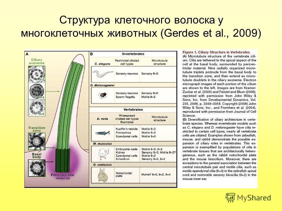 Структура клеточного волоска у многоклеточных животных (Gerdes et al., 2009)