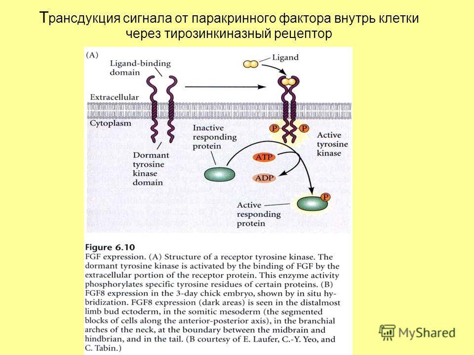 Т рансдукция сигнала от паракринного фактора внутрь клетки через тирозинкиназный рецептор