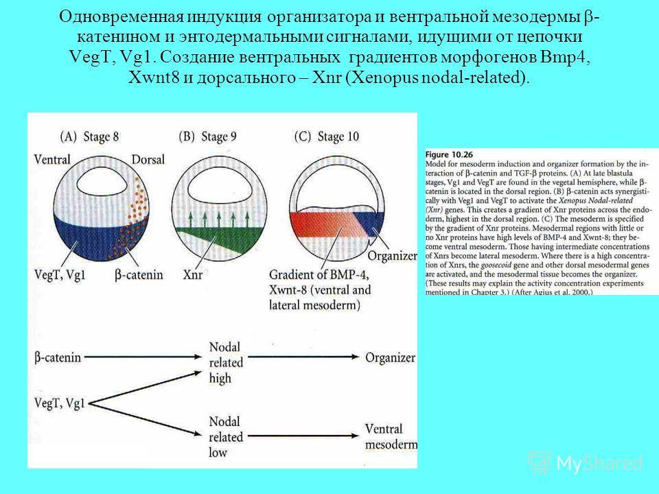 Одновременная индукция организатора и вентральной мезодермы - катенином и энтодермальными сигналами, идущими от цепочки VegT, Vg1. Создание вентральных градиентов морфогенов Bmp4, Xwnt8 и дорсального – Xnr (Xenopus nodal-related).