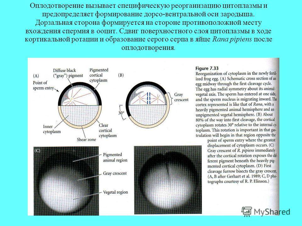 Оплодотворение вызывает специфическую реорганизацию цитоплазмы и предопределяет формирование дорсо-вентральной оси зародыша. Дорзальная сторона формируется на стороне противоположной месту вхождения спермия в ооцит. Сдвиг поверхностного слоя цитоплаз