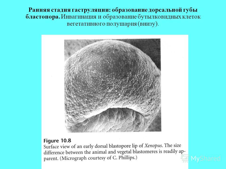Ранняя стадия гаструляции: образование дорсальной губы бластопора. Инвагинация и образование бутылковидных клеток вегетативного полушария (внизу).