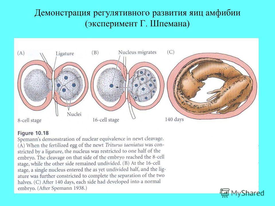 Демонстрация регулятивного развития яиц амфибии (эксперимент Г. Шпемана)