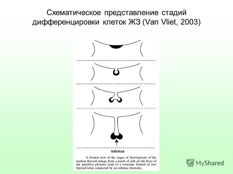 Схематическое представление стадий дифференцировки клеток ЖЗ (Van Vliet, 2003)